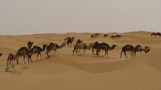 Tunesien Erfahrungen Kamelsafari